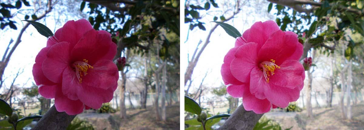 椿の花を明るく補正