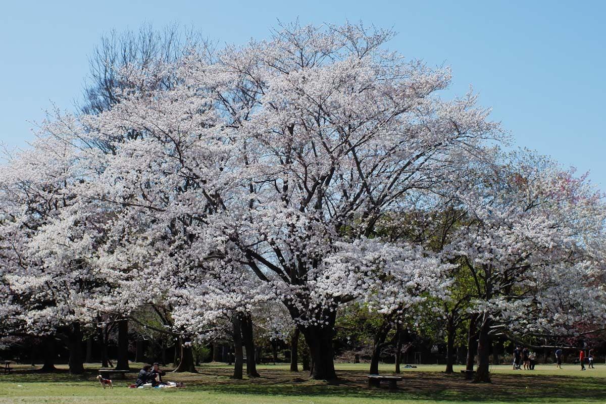 公園に咲く桜