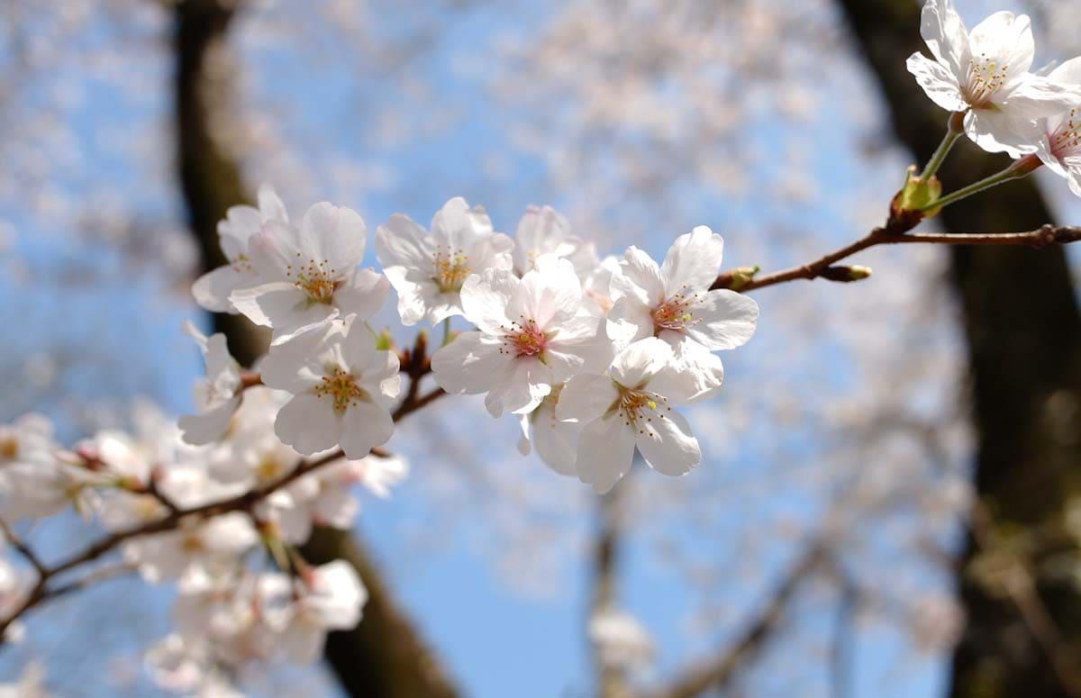 桜のアップ写真