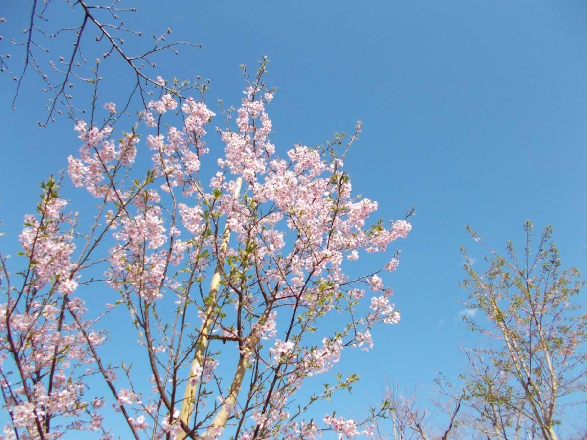 咲き始めた桜の花々