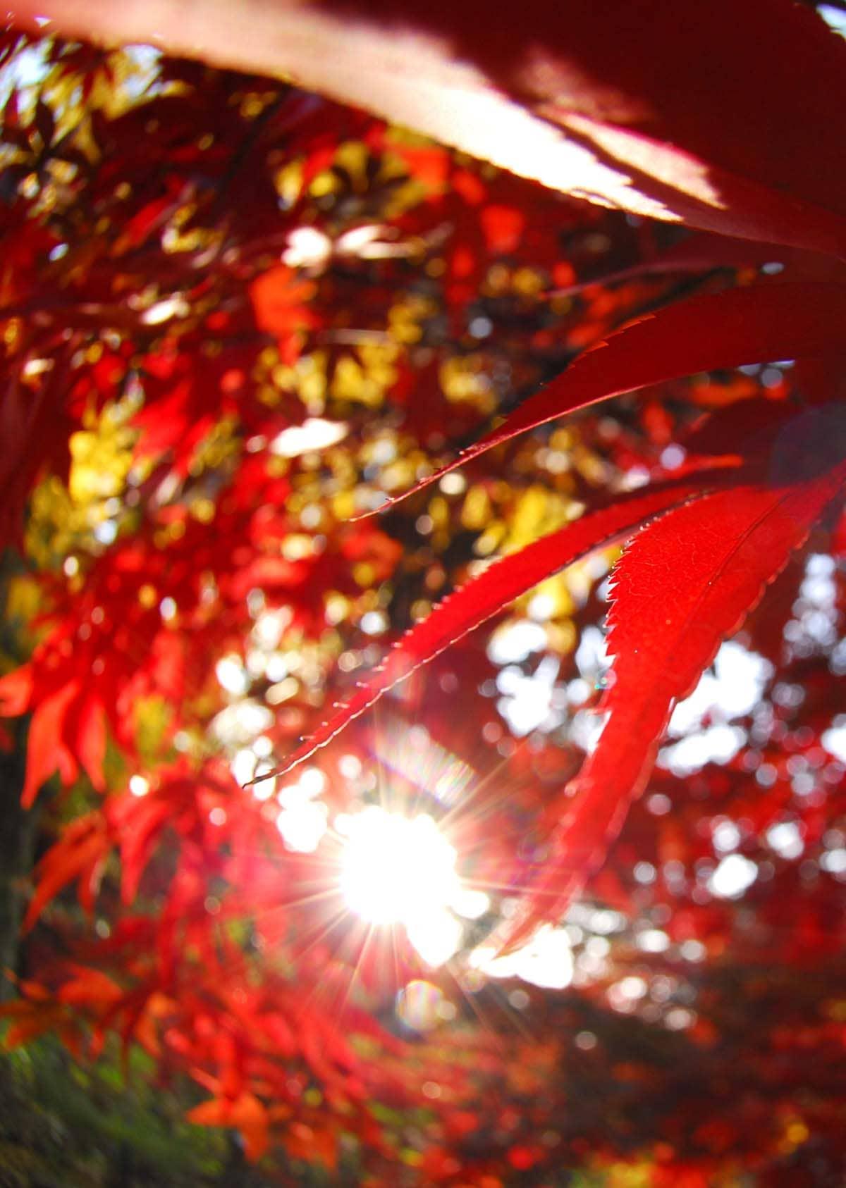 紅葉のアップ写真
