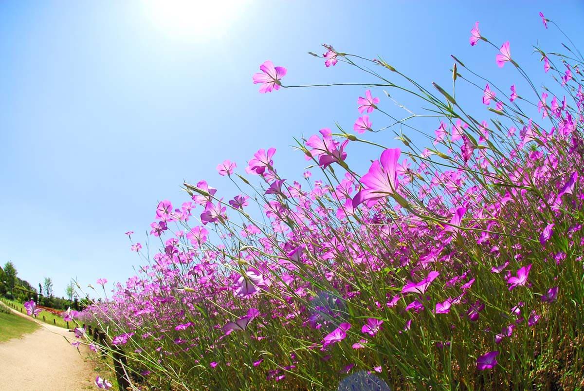 青空の下で咲く花畑