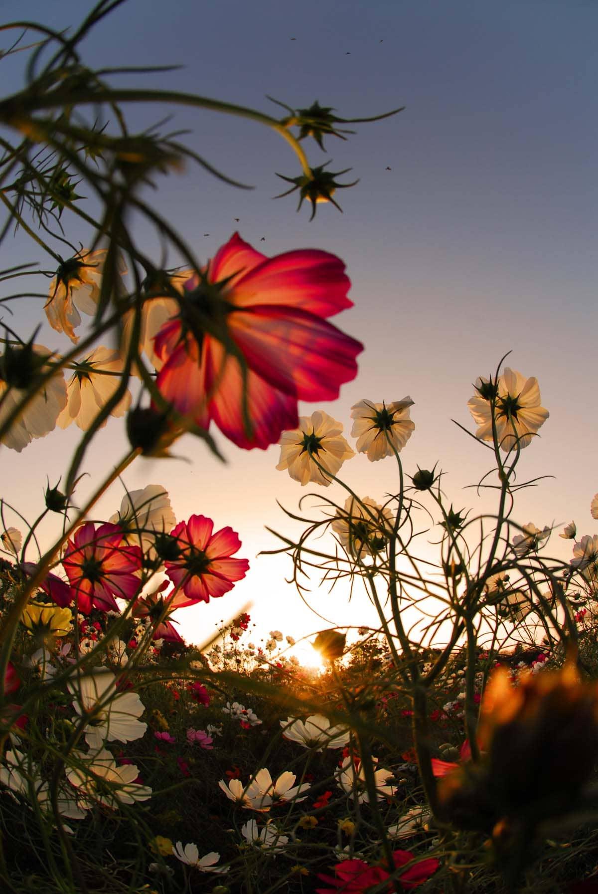 夕日に照らされたコスモスの花