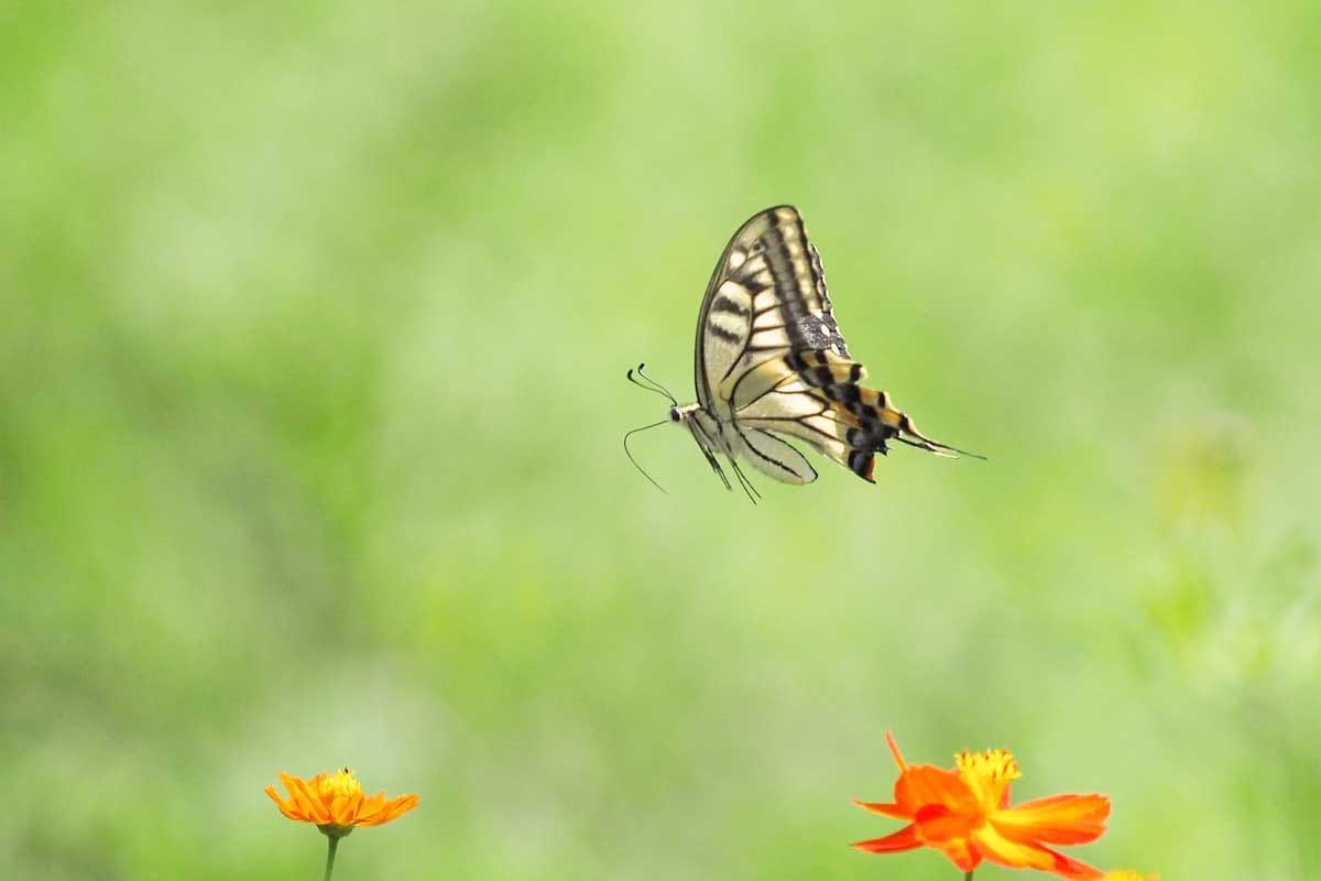 飛行中のキアゲハ