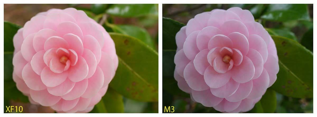 ピンク色のつばきの花
