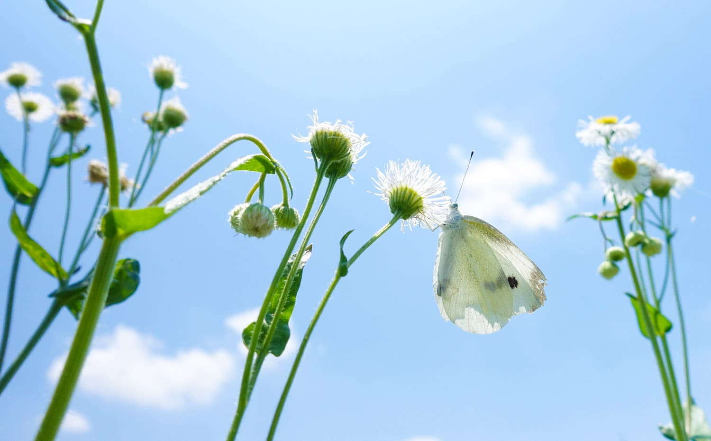 青空の中、花の蜜を吸うモンシロチョウ