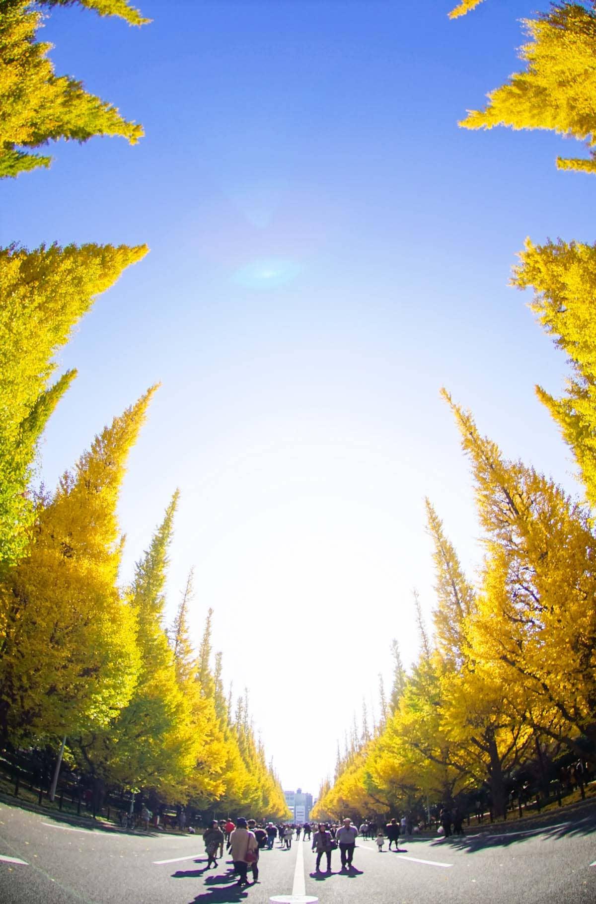 明治神宮のイチョウ並木を歩いて