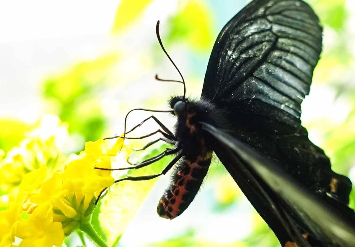 花の蜜を吸うジャコウアゲハ