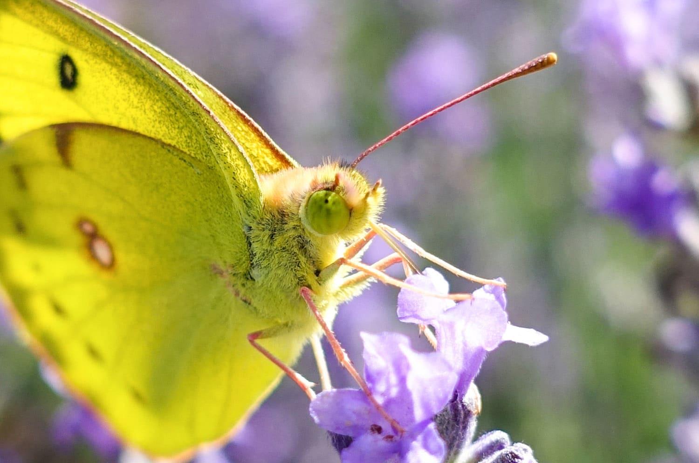花の蜜を吸うのに夢中なモンシロチョウ