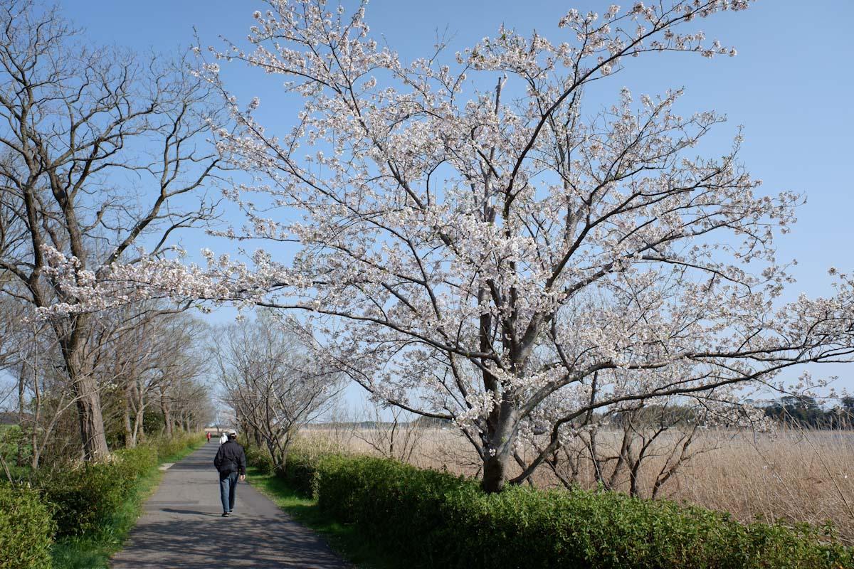 桜のある道