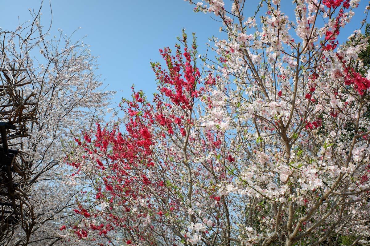 紅白の花々