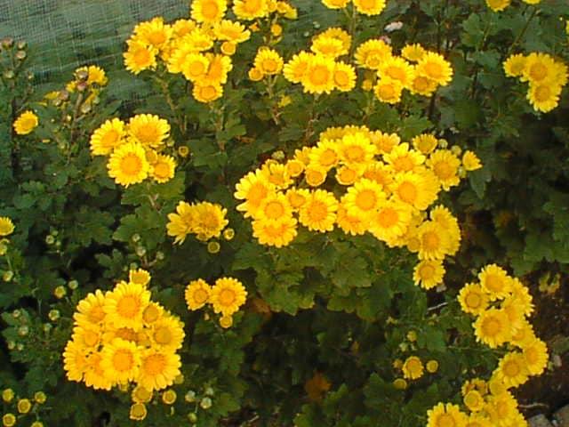 満開の黄色い花