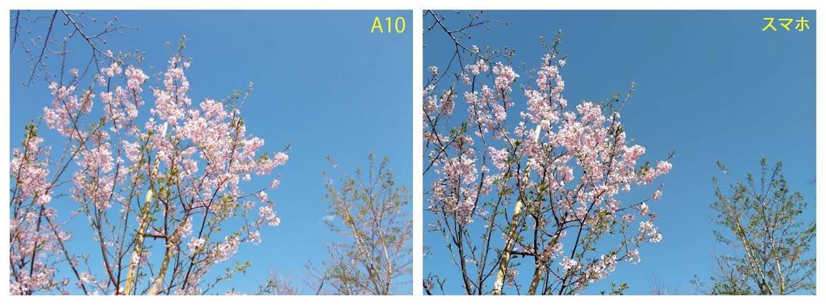 見ごろを迎えた桜と青空