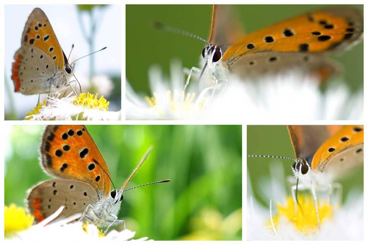 オレンジ色の羽をもつベニシジミ