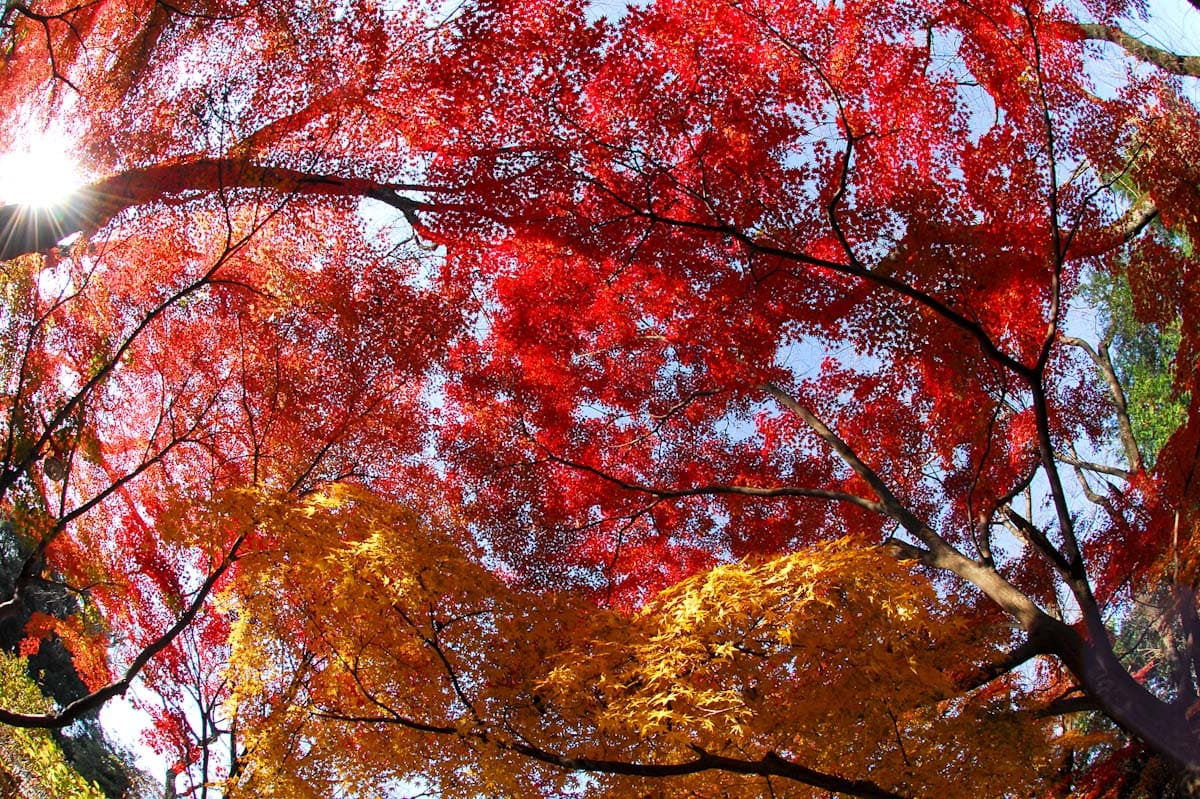 見ごろを迎えた真っ赤な紅葉