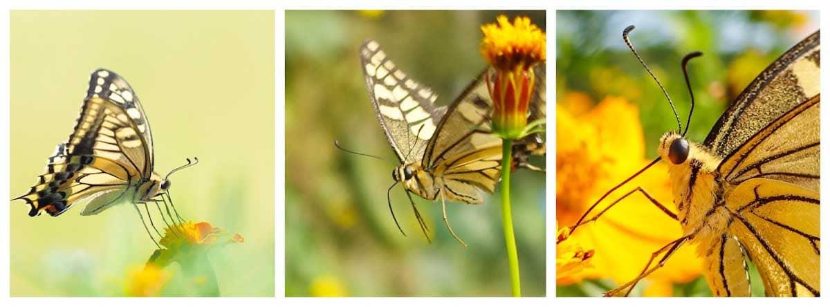 蜜を吸うキアゲハ