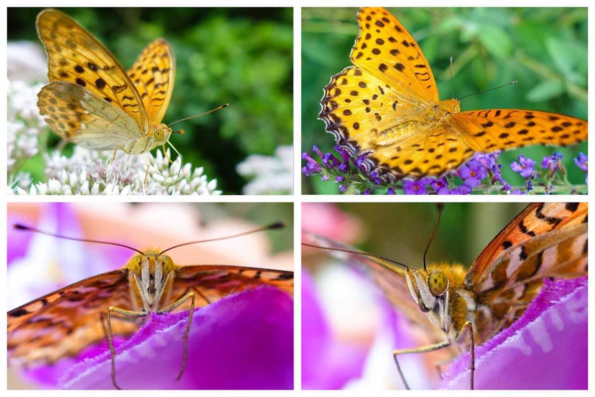 オレンジ色の羽が特徴のツマグロヒョウモン