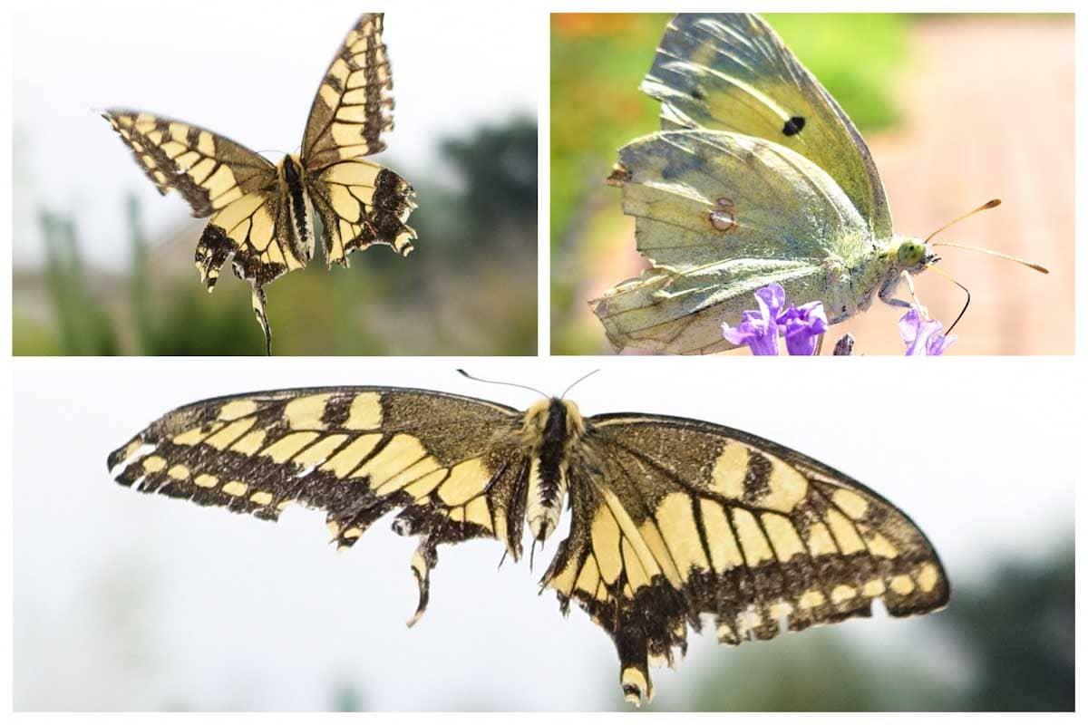 羽がボロボロになった蝶