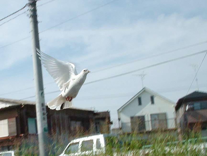 飛んでいる白いハト