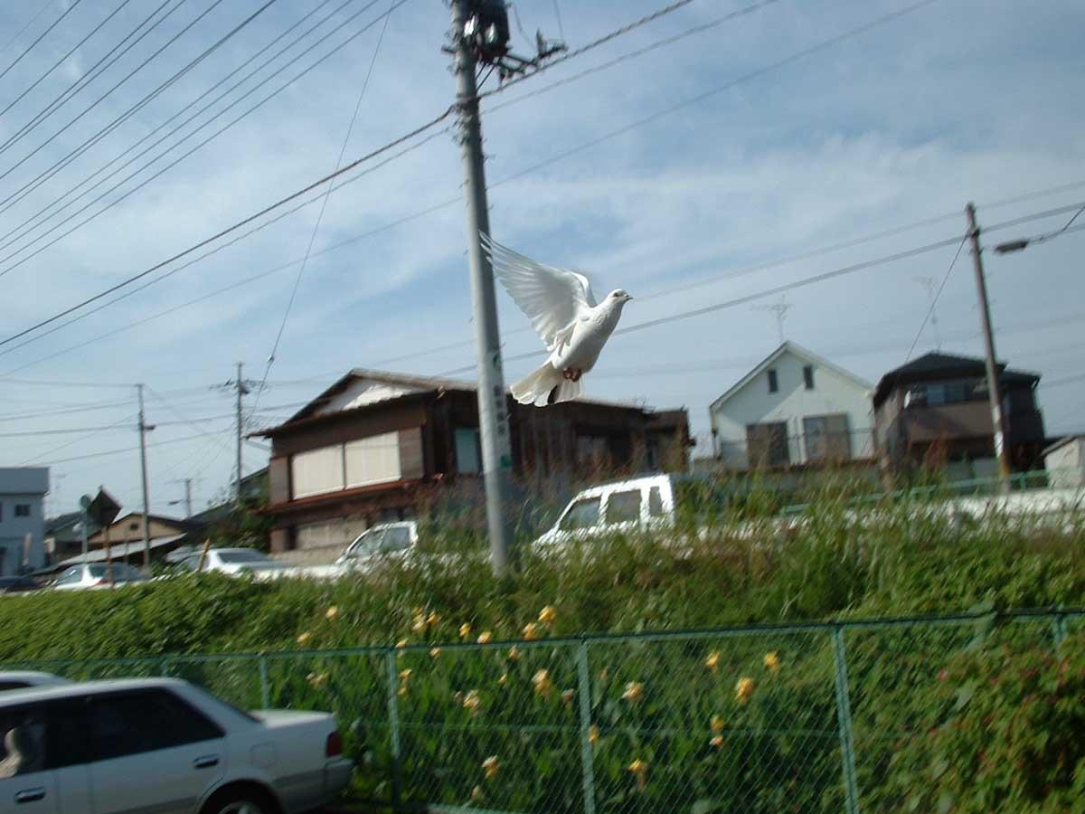 飛び立つ白い鳩