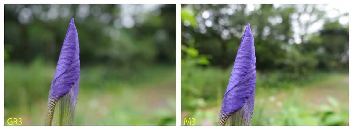 開花前のアヤメ