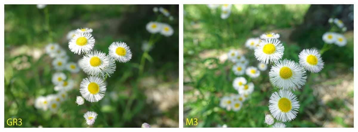 たくさん咲いているデイジーの花