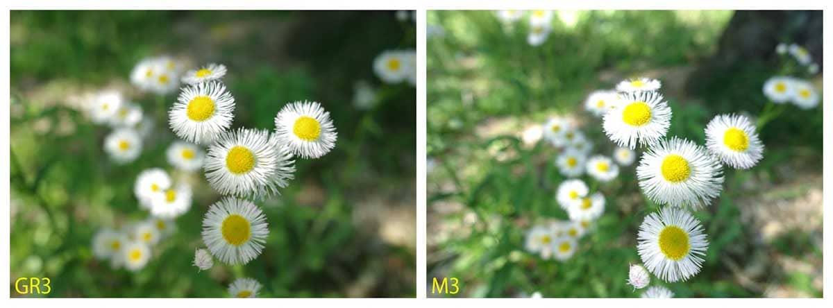 見ごろを迎えたハルジオンの花