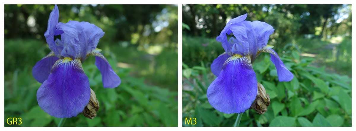 青色のあやめの花