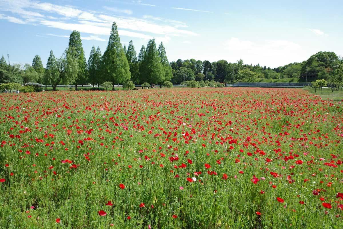 赤い花のポピー畑