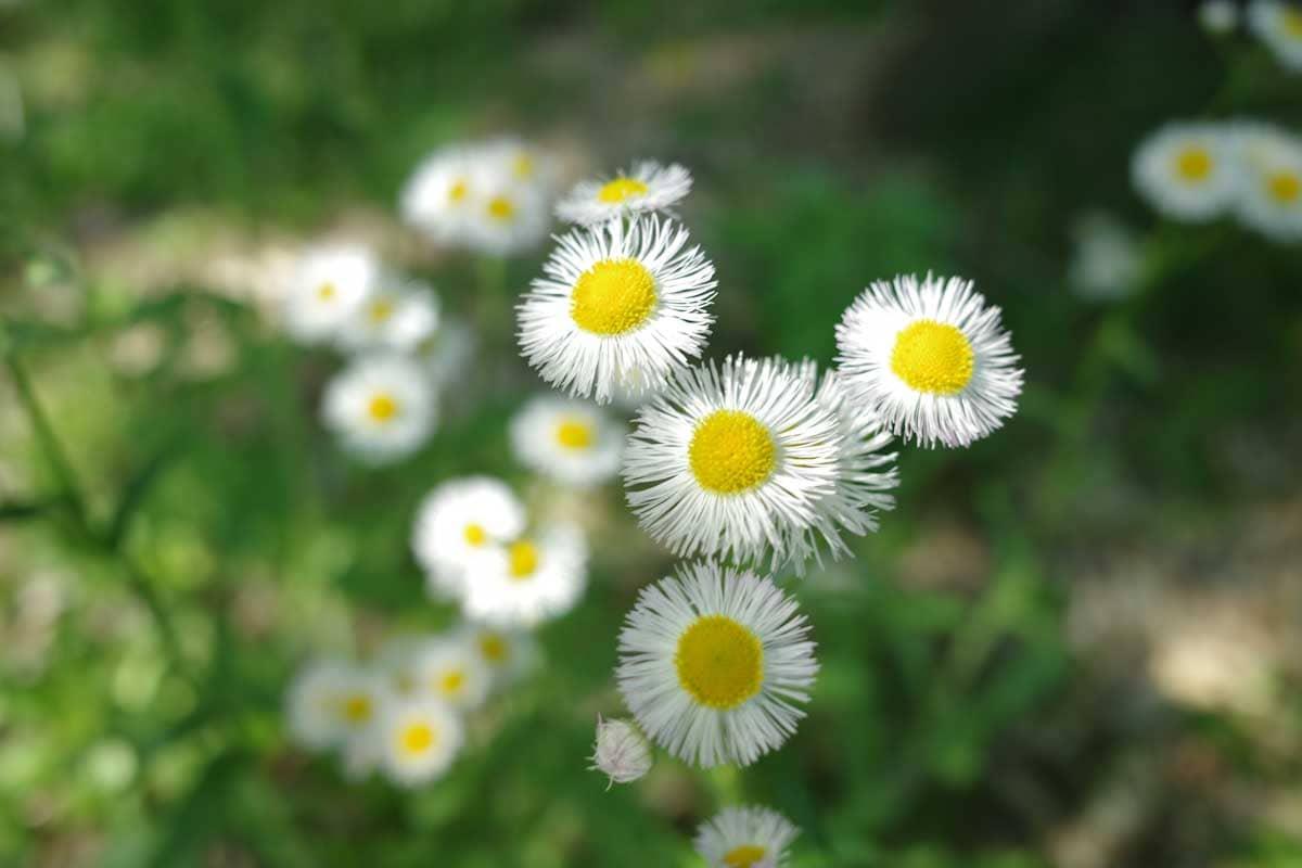 7輪のハルジオンの花
