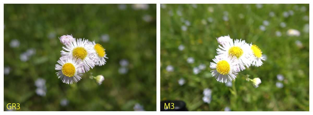 見ごろを迎えたデイジーの花