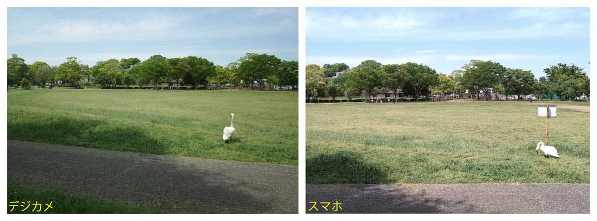 公園の芝生で休憩中のハクチョウ