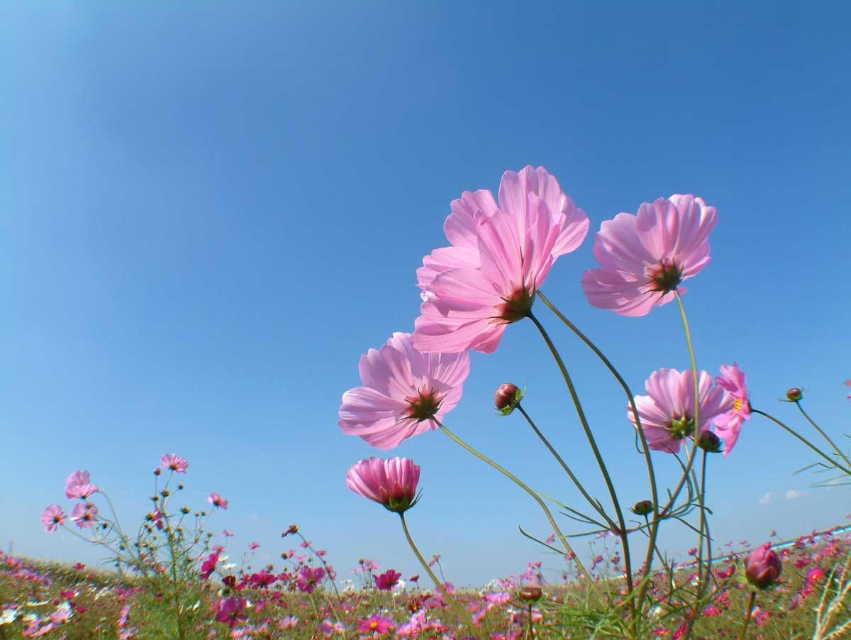 満開のコスモスの花々