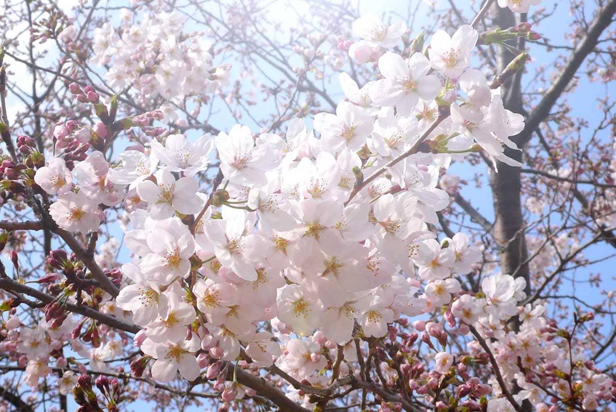見ごろの桜の花々