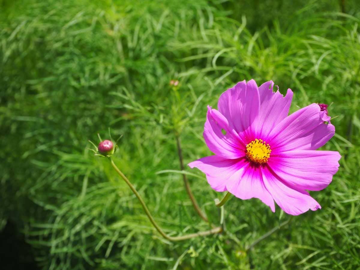 7月に咲く早咲きのコスモス