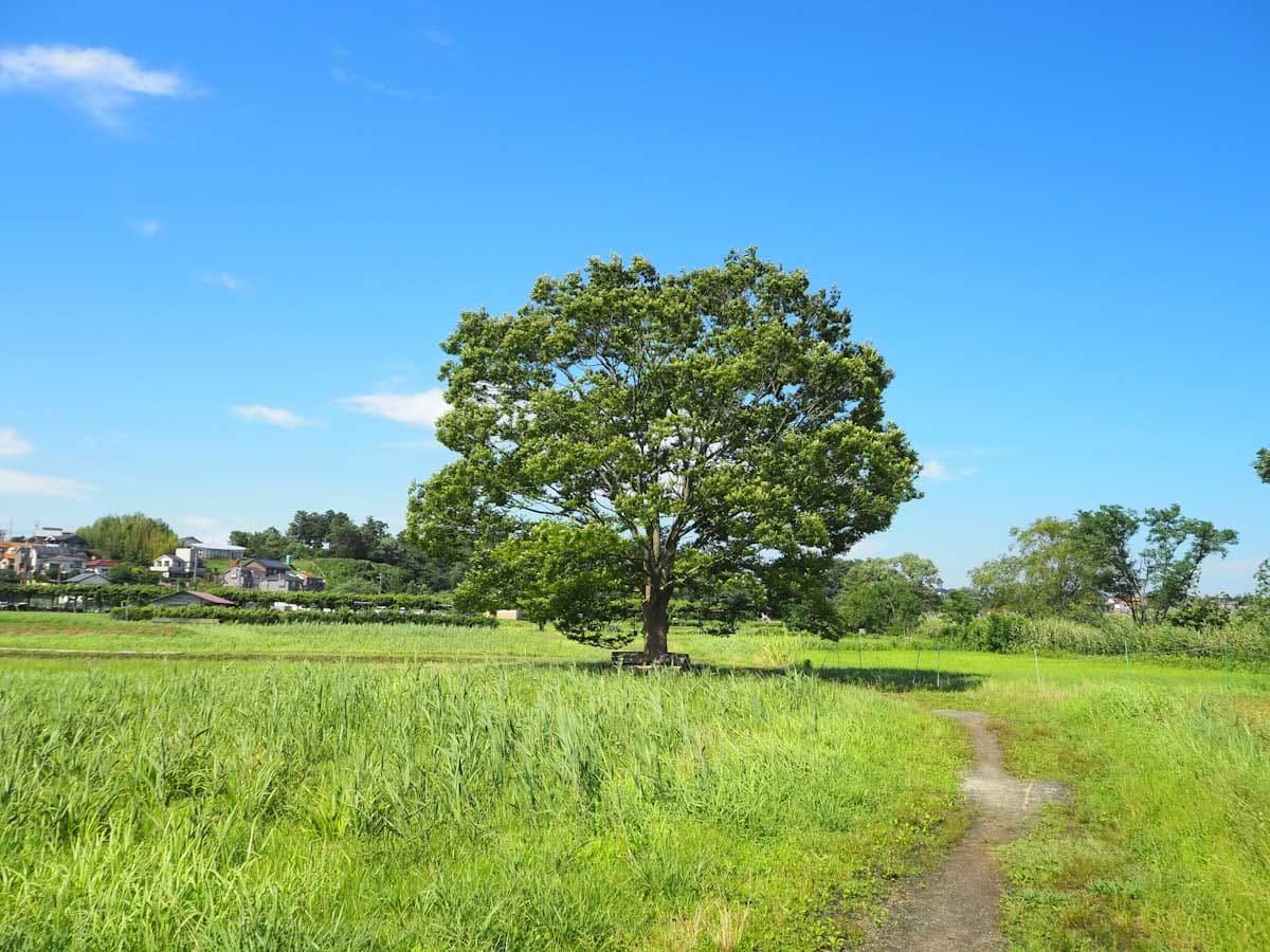 緑がきれいな一本の大きな木