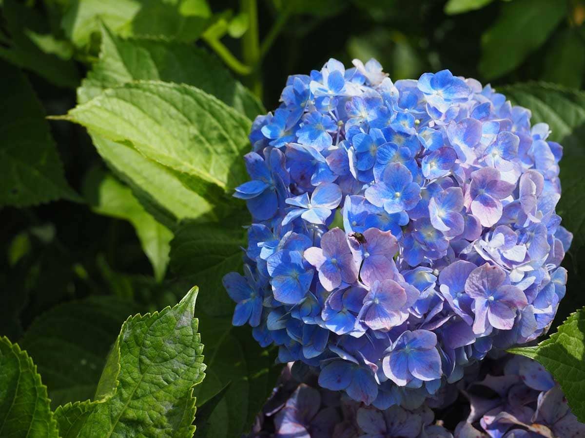 青いアジサイの花