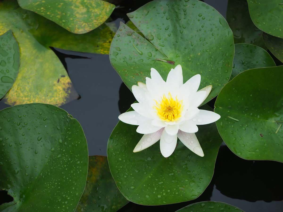池に浮かぶ白い睡蓮の花