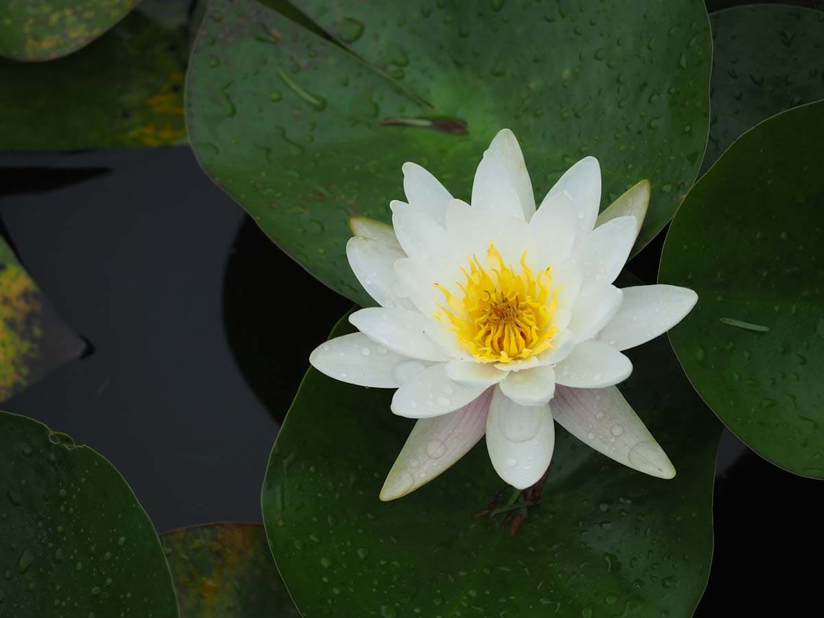 見ごろの白スイレンの花