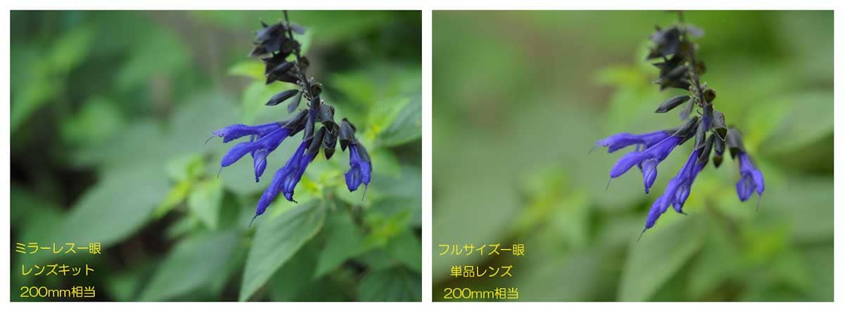青いアガパンサスの花
