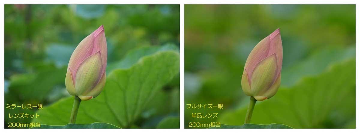 開花前のハス