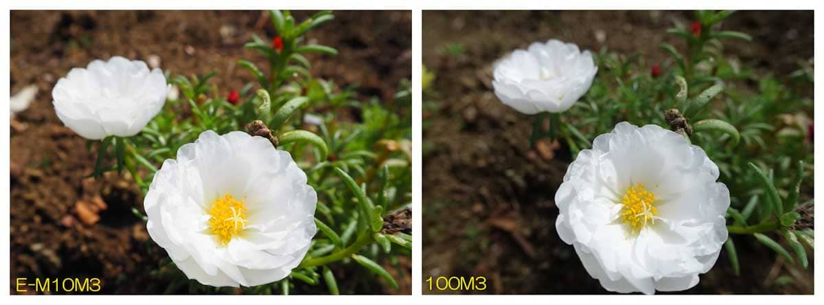 見ごろで綺麗に咲く白い花