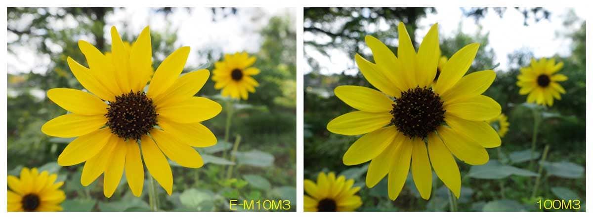 見ごろを迎えた小さいヒマワリの花