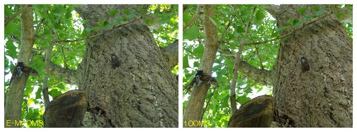 木に止まる2匹のセミ
