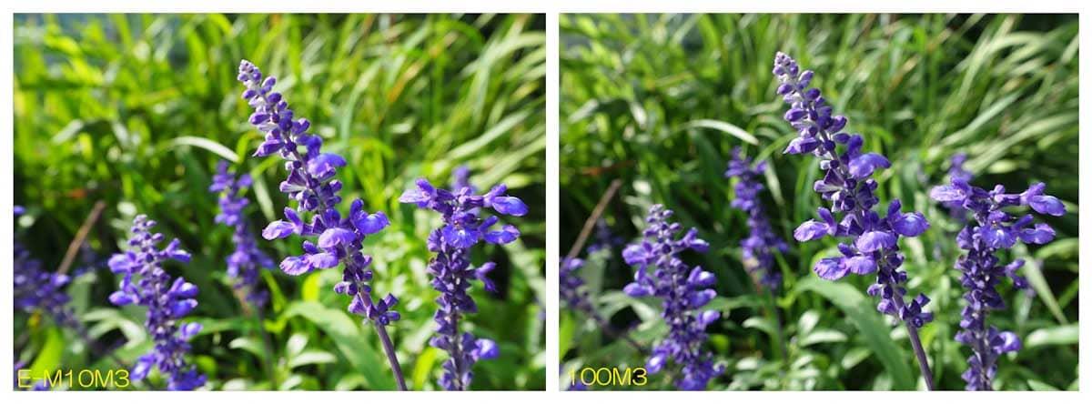 見ごろのラベンダーの花々