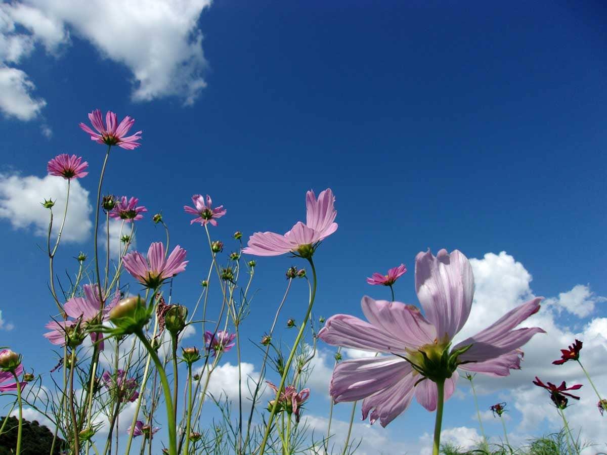 大空の下で咲くコスモス