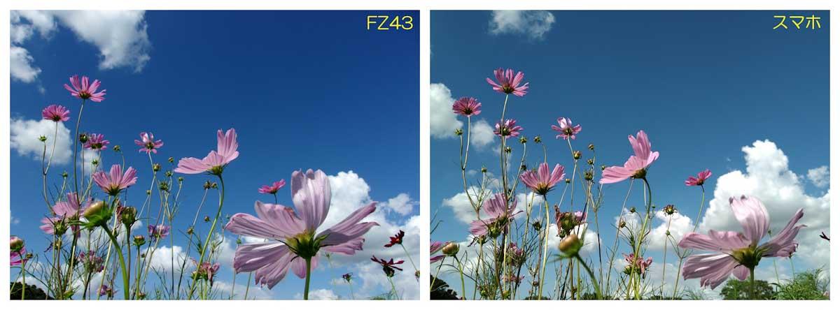 ピンク色のコスモスと青空