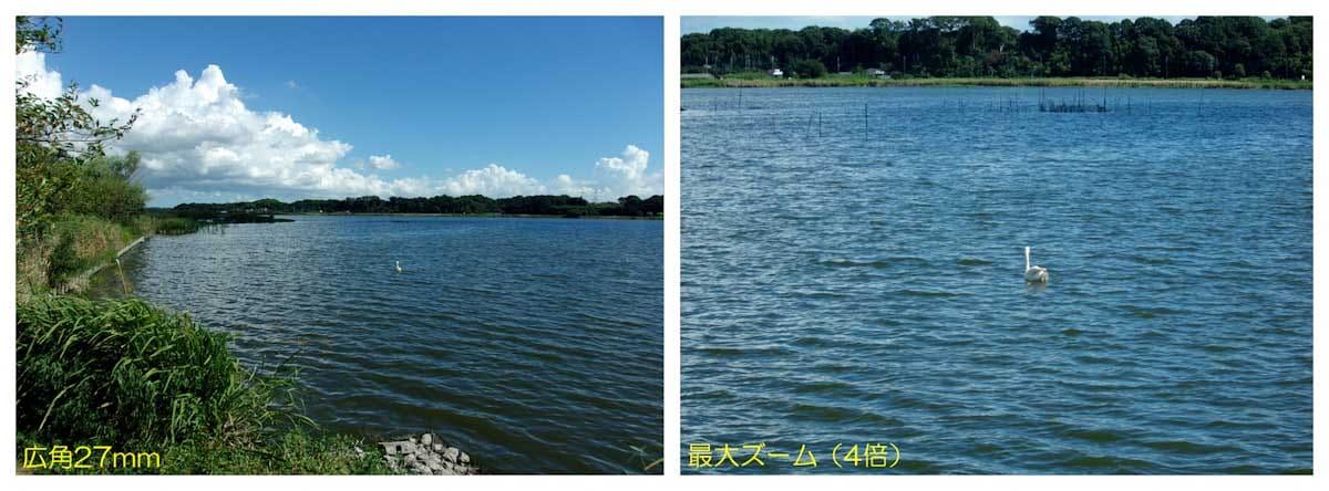 湖に浮かぶハクチョウ