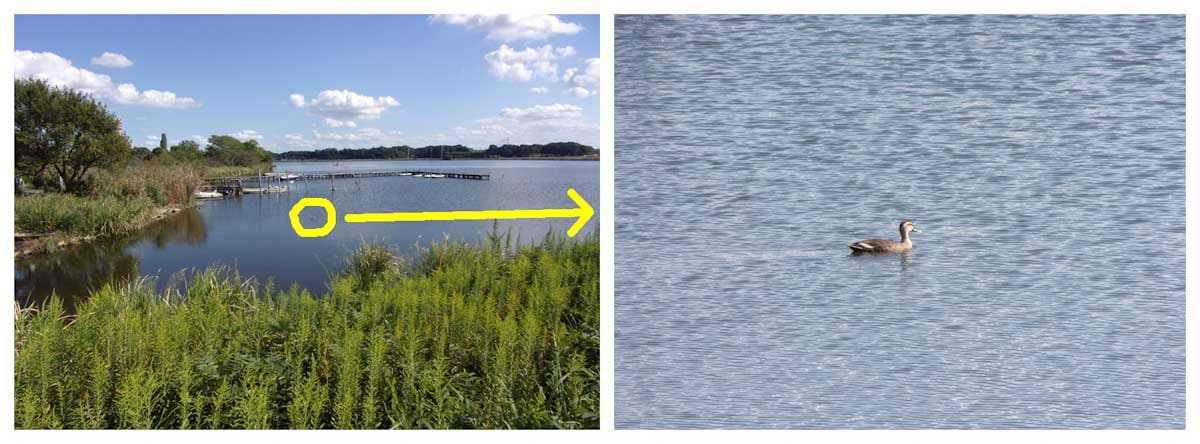 湖で泳ぐカルガモ