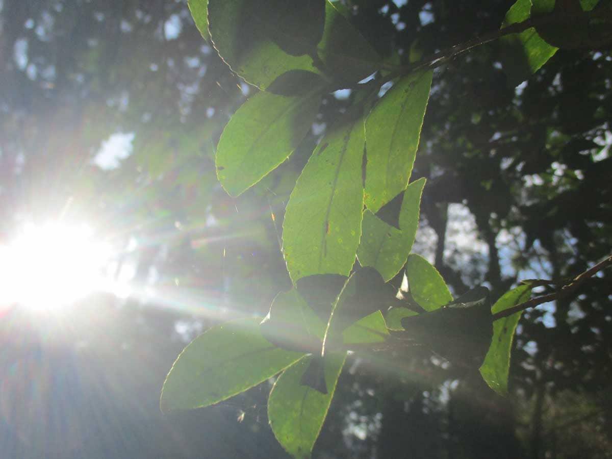 光に照らされた緑の葉っぱ